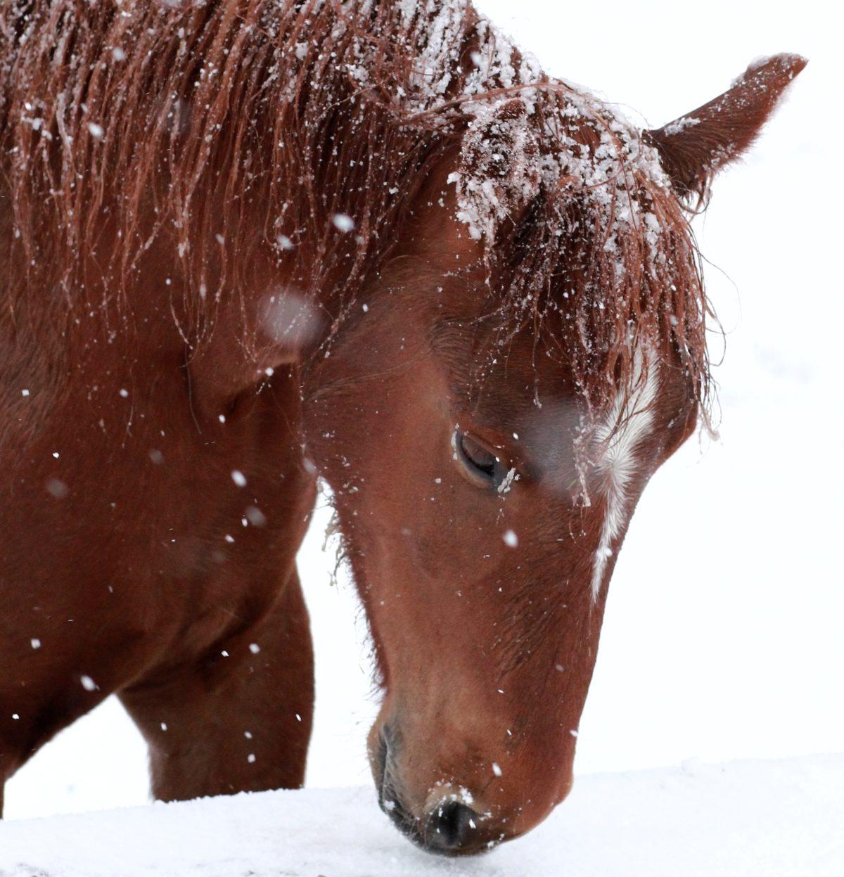 <em>snowy mustang</em>